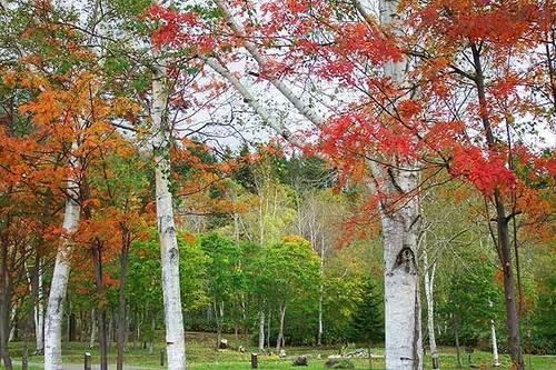 真狩キャンプ場の紅葉