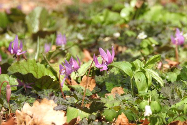 判官館森林公園キャンプ場に咲くカタクリの花