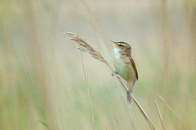 ベニヤ原生花園の野鳥