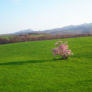 室蘭市崎守町の一本桜