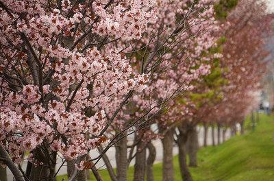 だて歴史の杜の桜