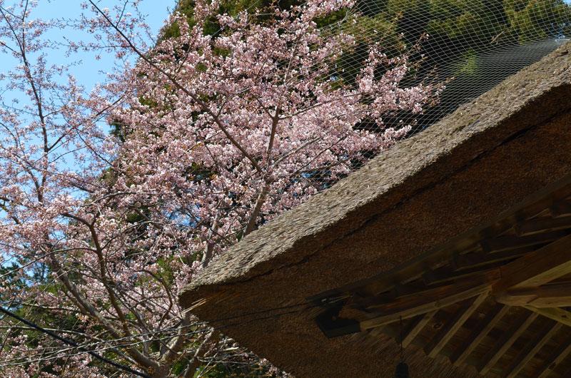 2016年5月 桜を見に