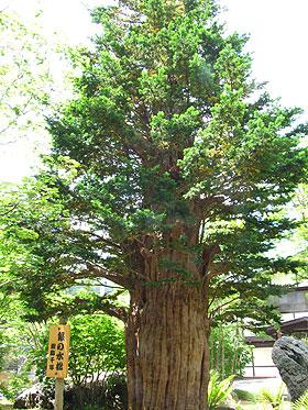 樹齢1000年のイチイ
