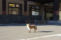 カミホロ荘の駐車場に姿を見せるキタキツネ